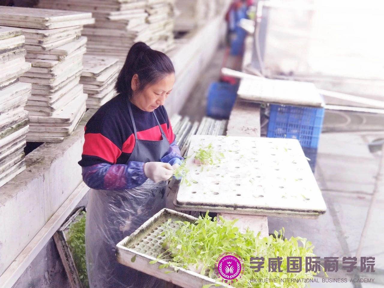厂里正在劳作的工作人员细心的挑拣着蔬菜幼苗